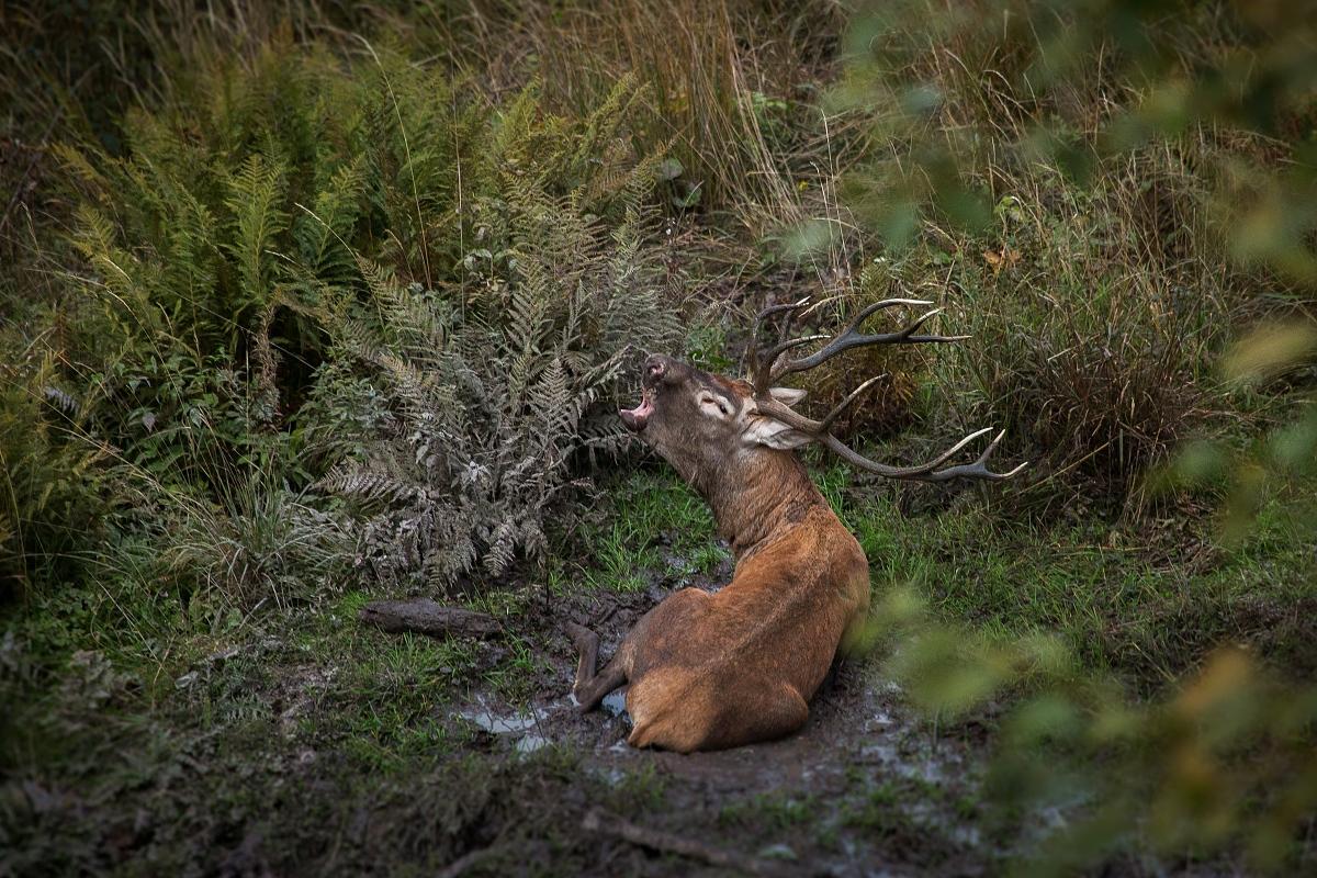 Jeleň lesný ( Cervus elaphus )