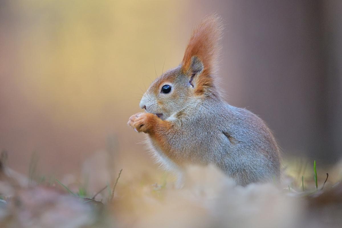 veverica stromová ( Sciurus vulgaris )