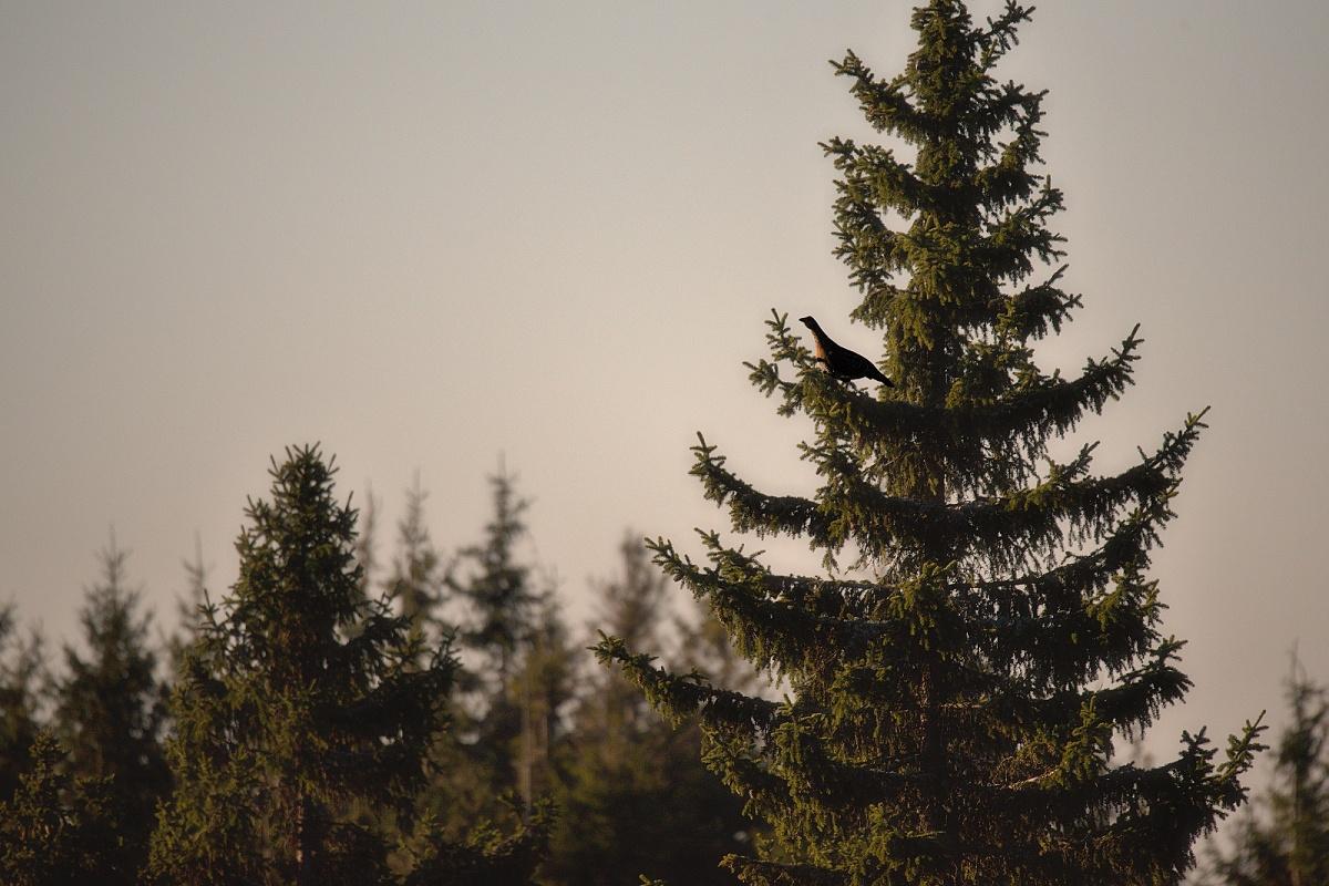 tetrov hlucháň ( Tetrao urogallus )
