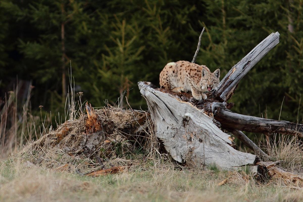 rys ostrovid ( lynx lynx )