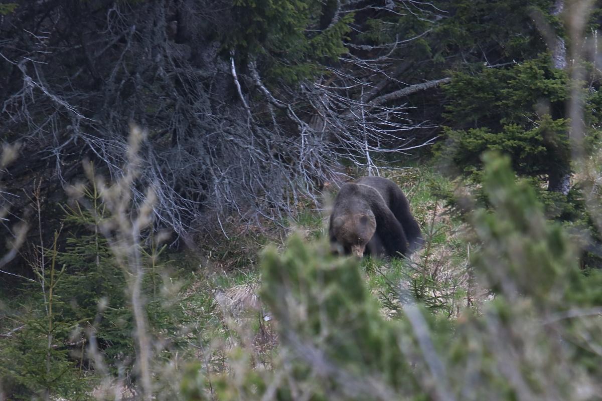 Medveď hnedý ( Ursus arctos )