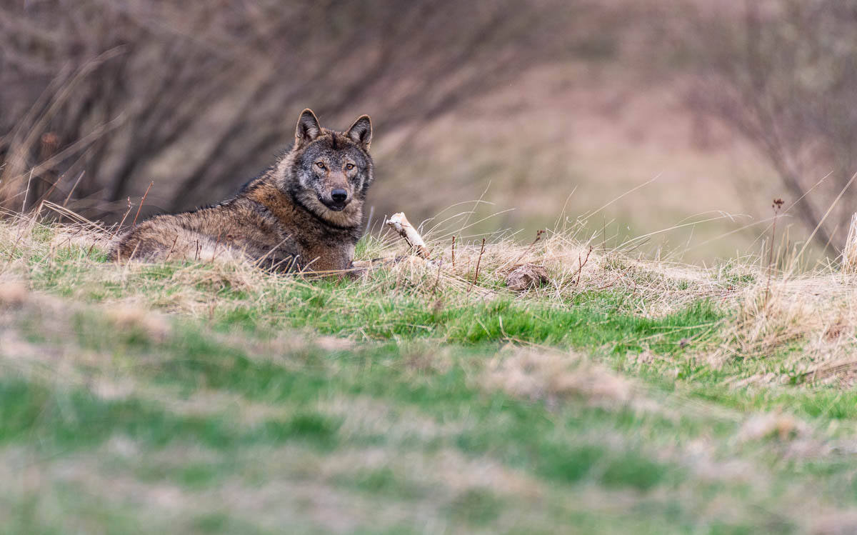Vlk dravý ( Canis lupus)