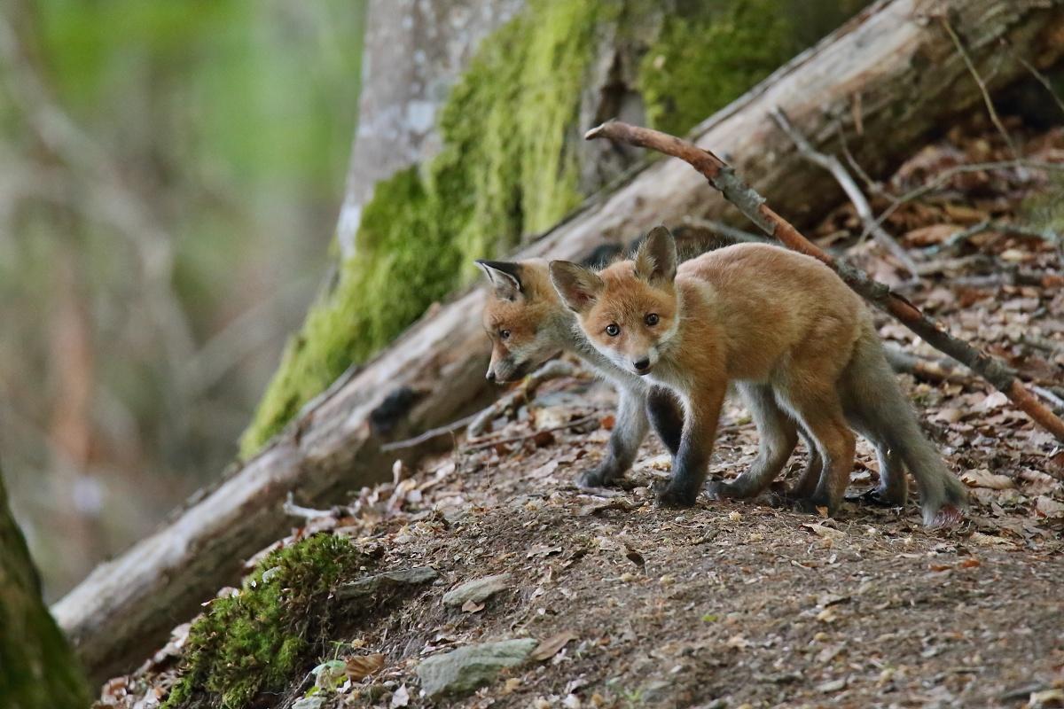 Líška hrdzavá. (Vulpes vulpes)