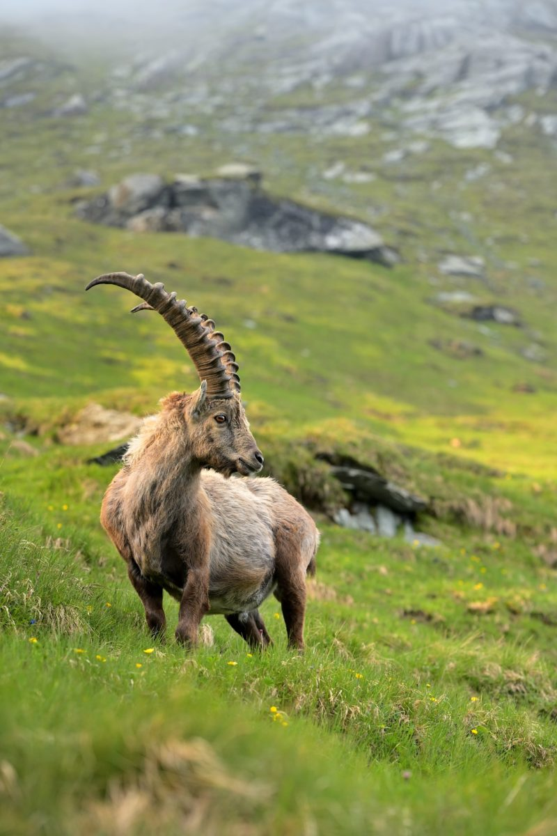 kozorožec alpský ( Capra ibex )