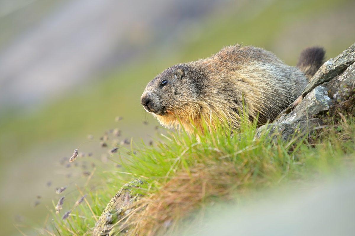 Svišť vrchovský (Marmota marmota )