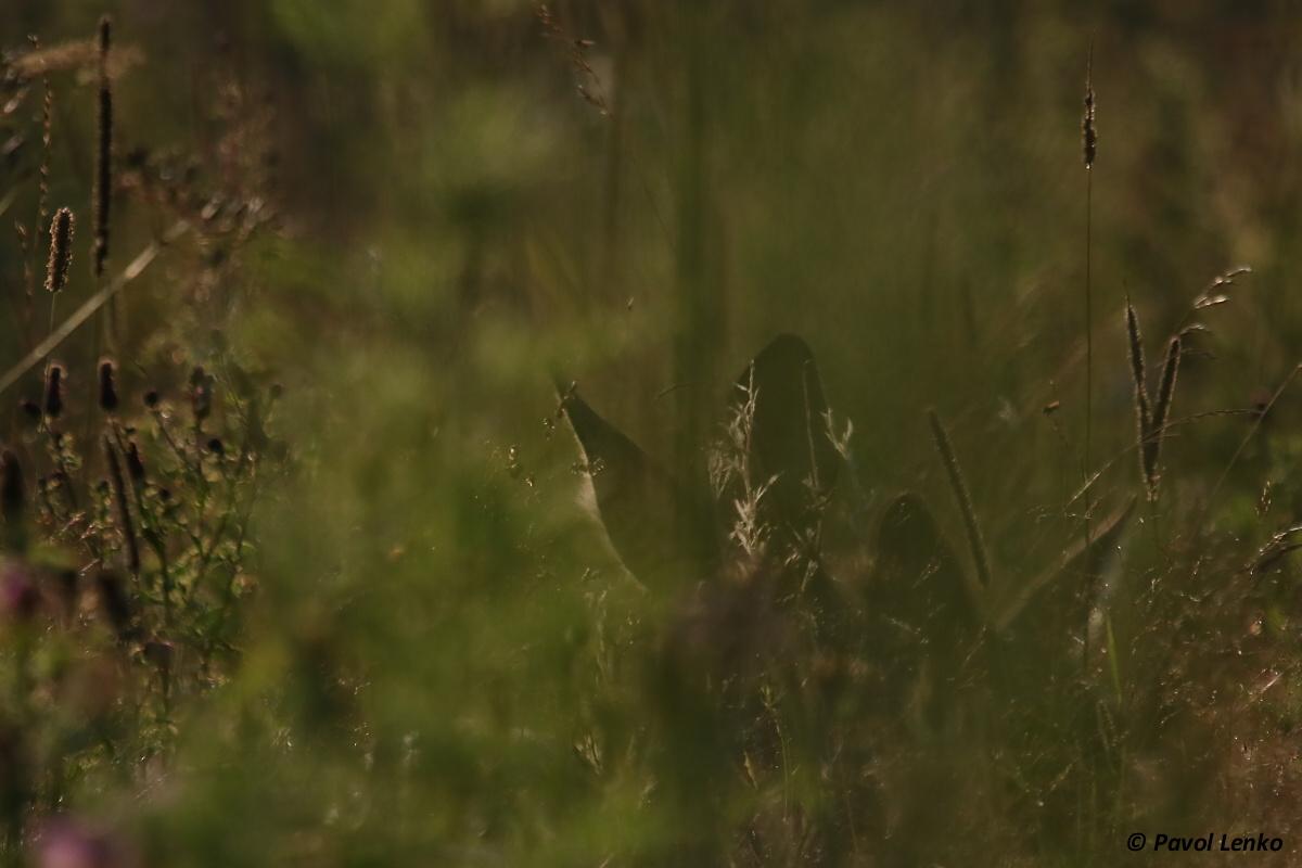 Srnec lesný (Capreolus capreolus)