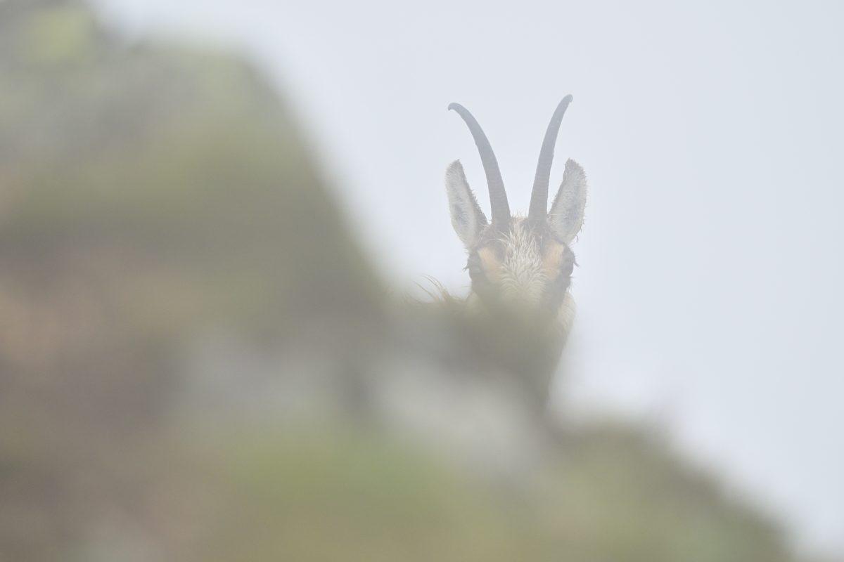 Kamzík vrchovský (Rupicapra rupicapra)