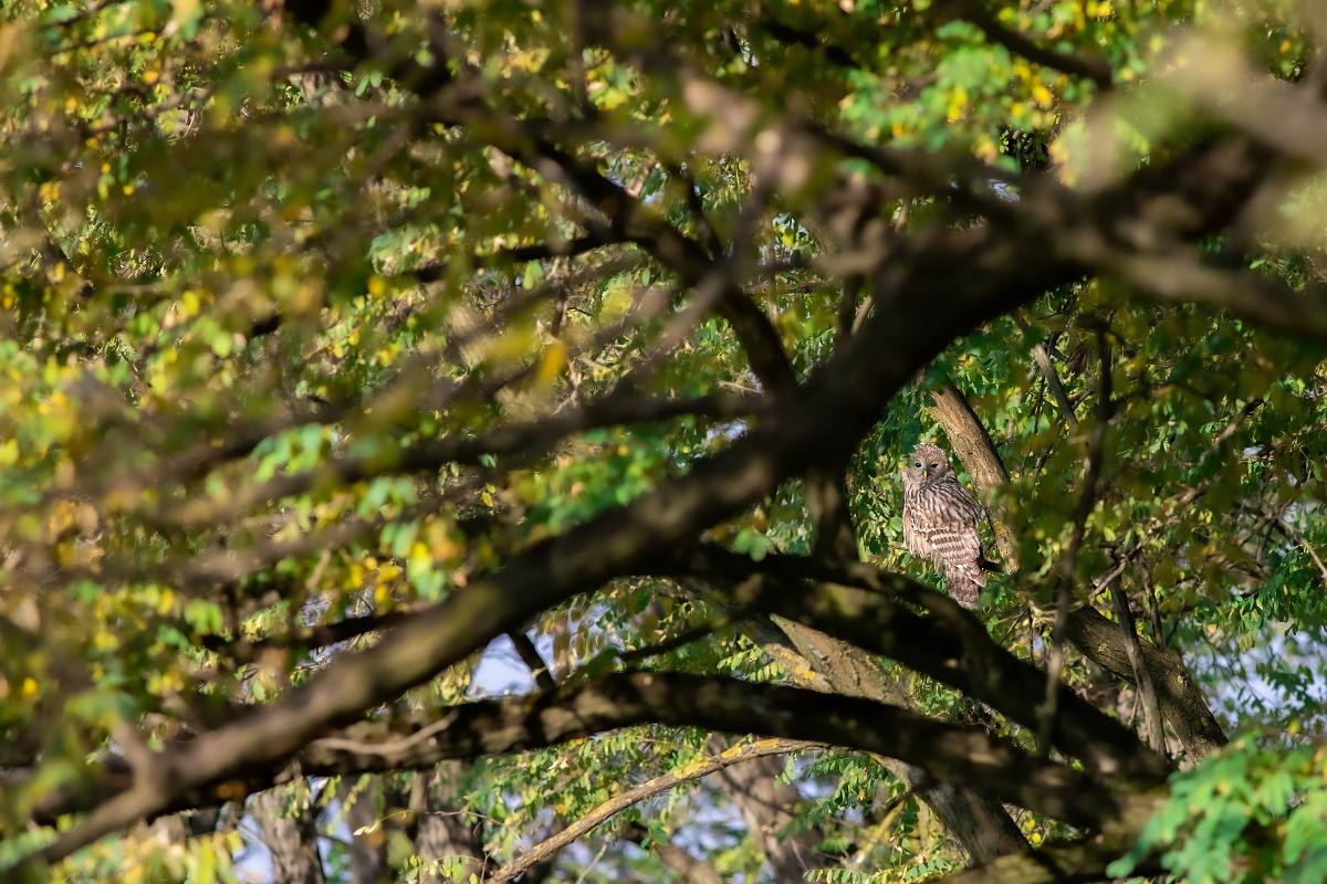 Sova dlhochvostá (Strix uralensis)