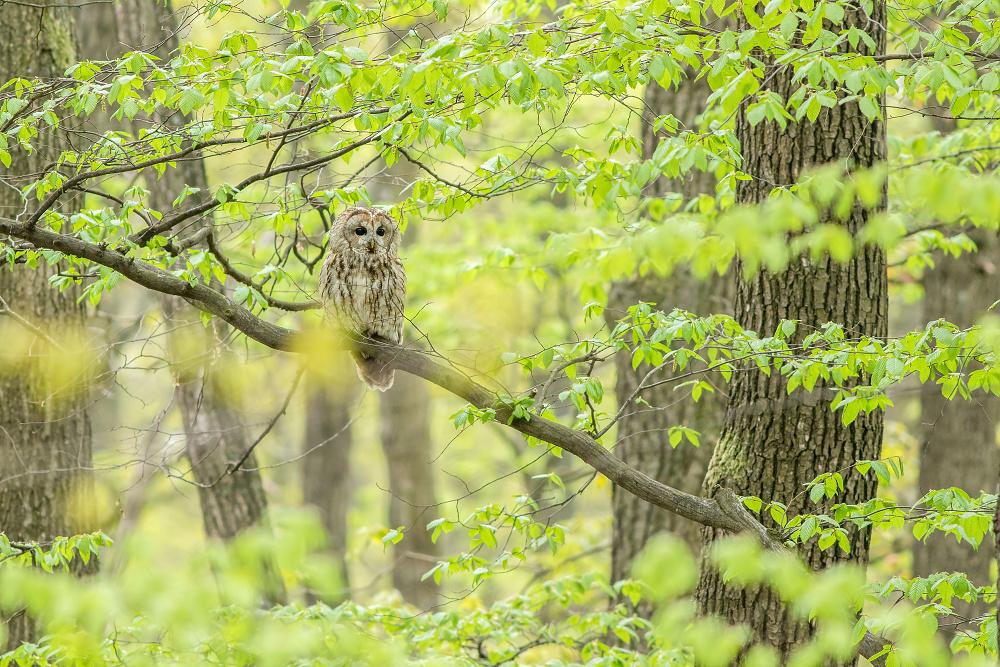 Sova lesná (Strix aluco)