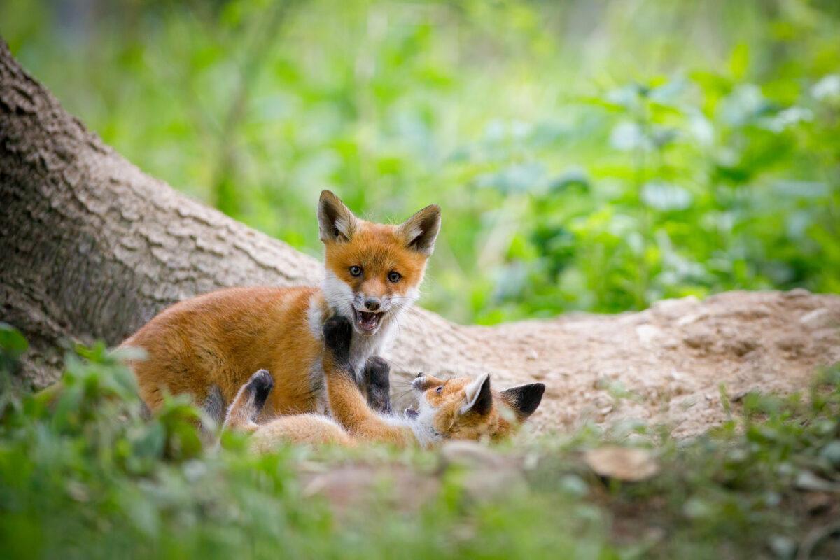 Líška hrdzavá ( Vulpes vulpes )