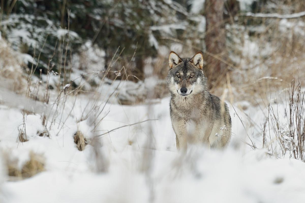 Vlk dravý ( Canis lupus )