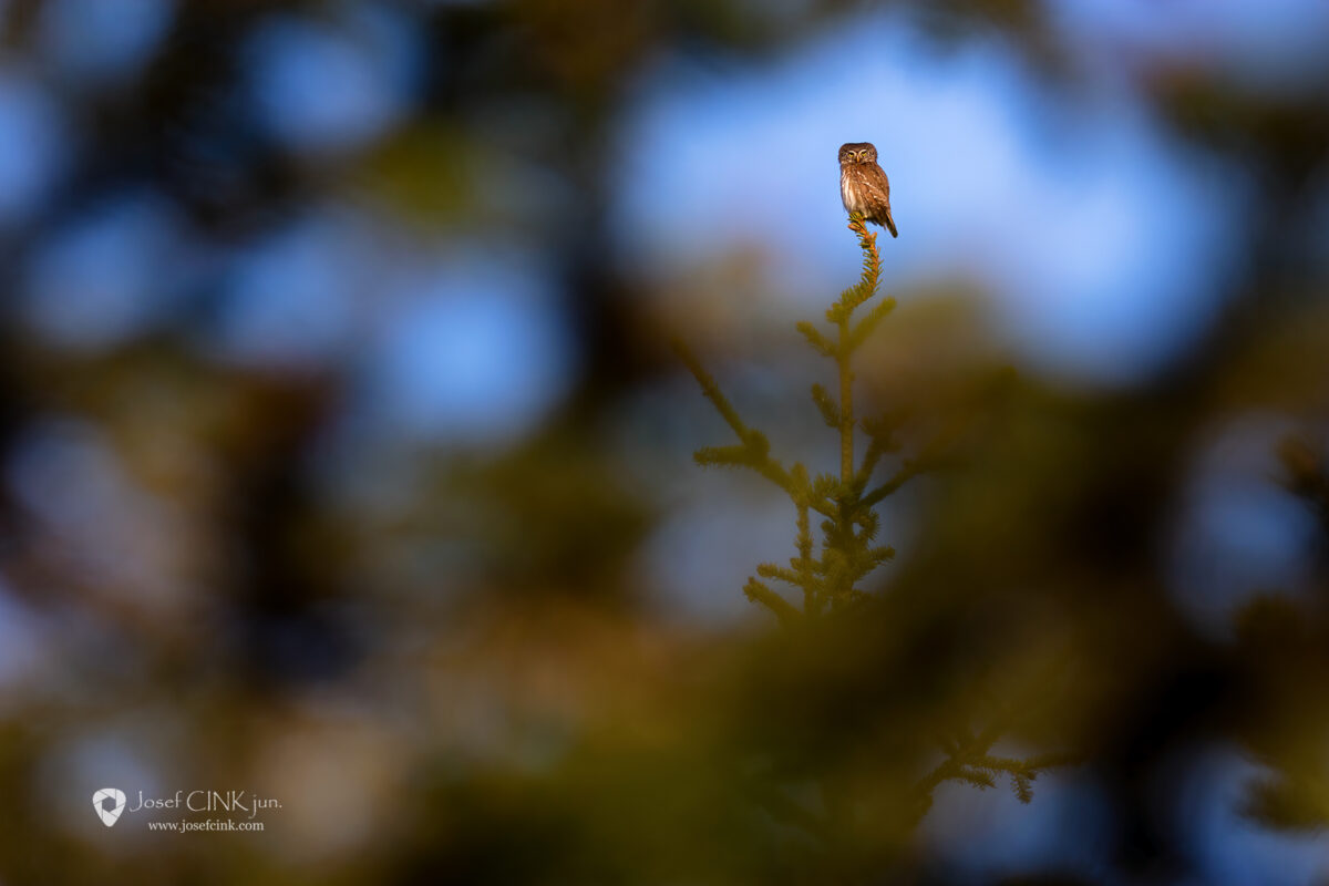 Kulíšek nejmenší (Glaucidium passerinum)